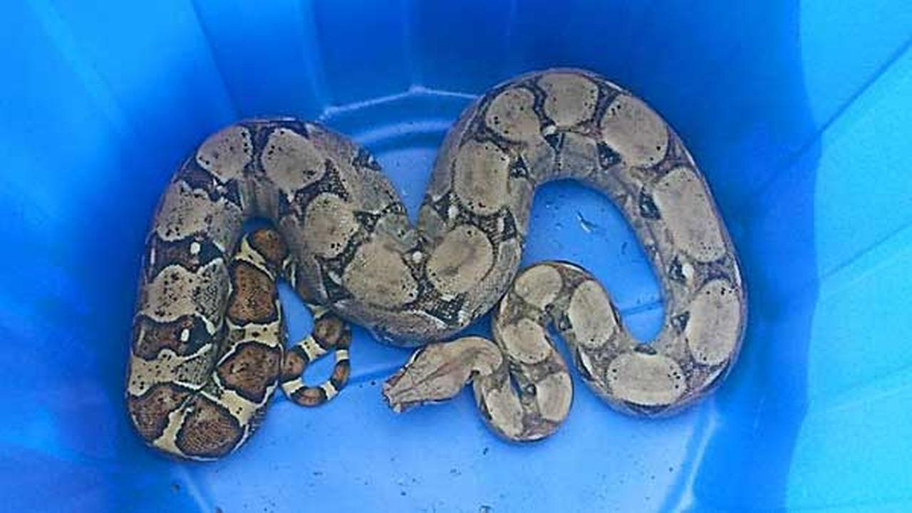 A boa constrictor has caused a stir after being abandoned in downtown Dover.