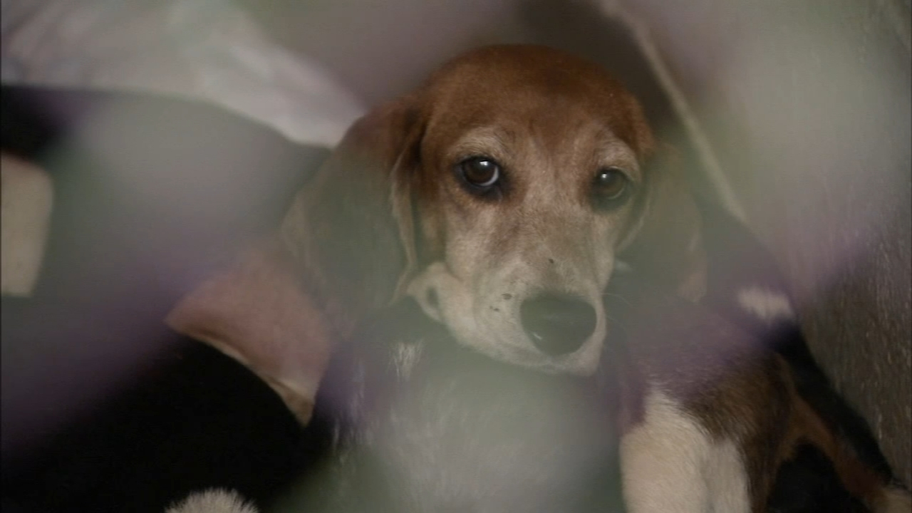 Beagles rescued from hoarding situation near ready for adoption: As seen on Action News at 5 p.m., October 15, 2018