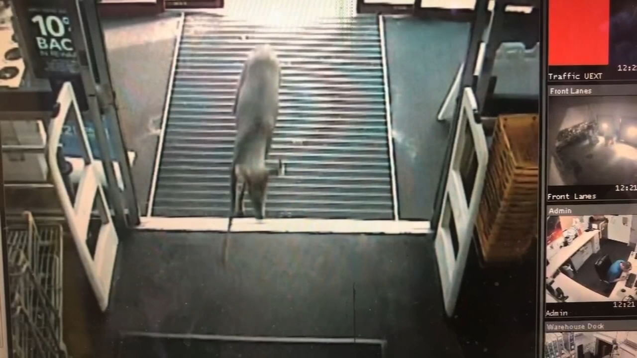 Deer runs into Best Buy store. Matt ODonnell reports during Action News Mornings on October 15, 2018.