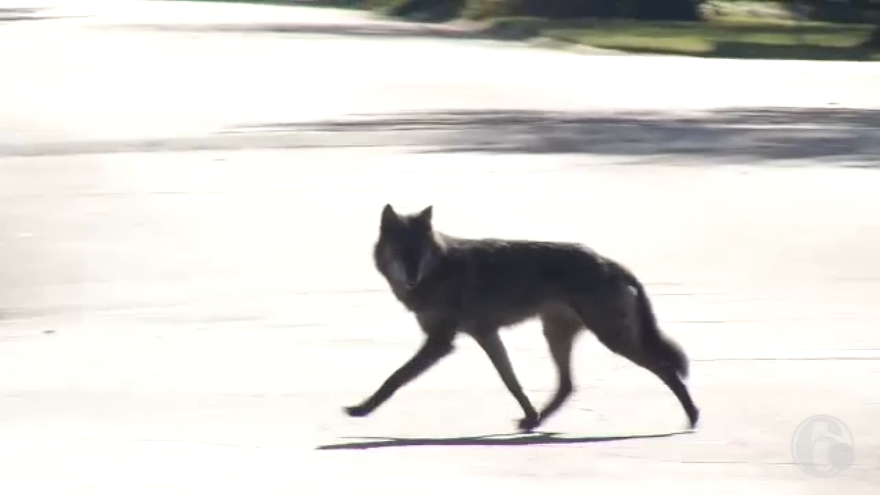 Reports of wolf sighting prompt large police response in North Wilmington. Watch the video from 6abc.com on October 17, 2018.
