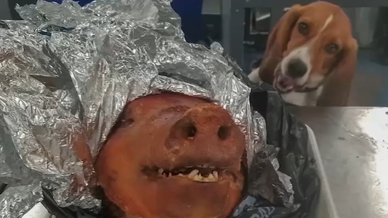 K-9 sniffs out roasted pig in checked bag. Watch the report from 6abc.com on October 18, 2018.