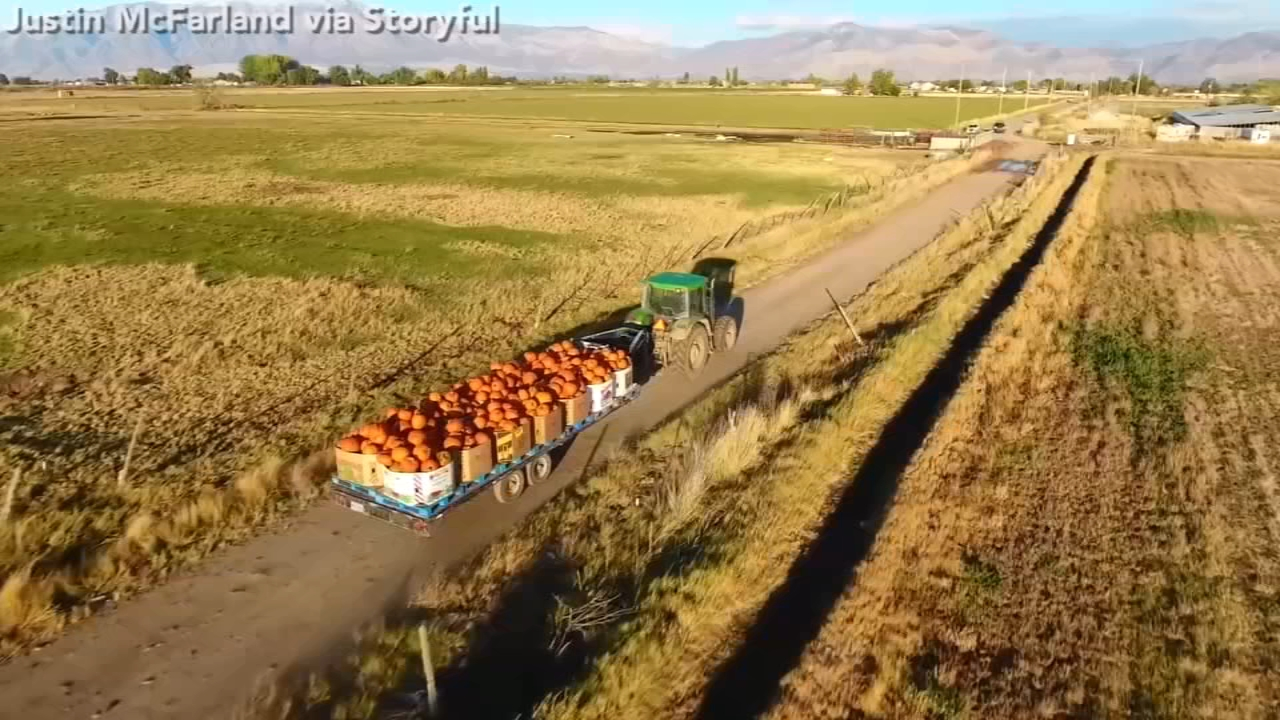 Mesmerizing video captures bustling activity at Utah pumpkin farm.