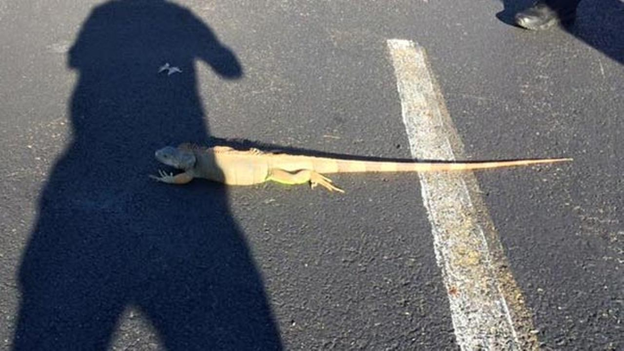 Owner of Collingdale iguana located