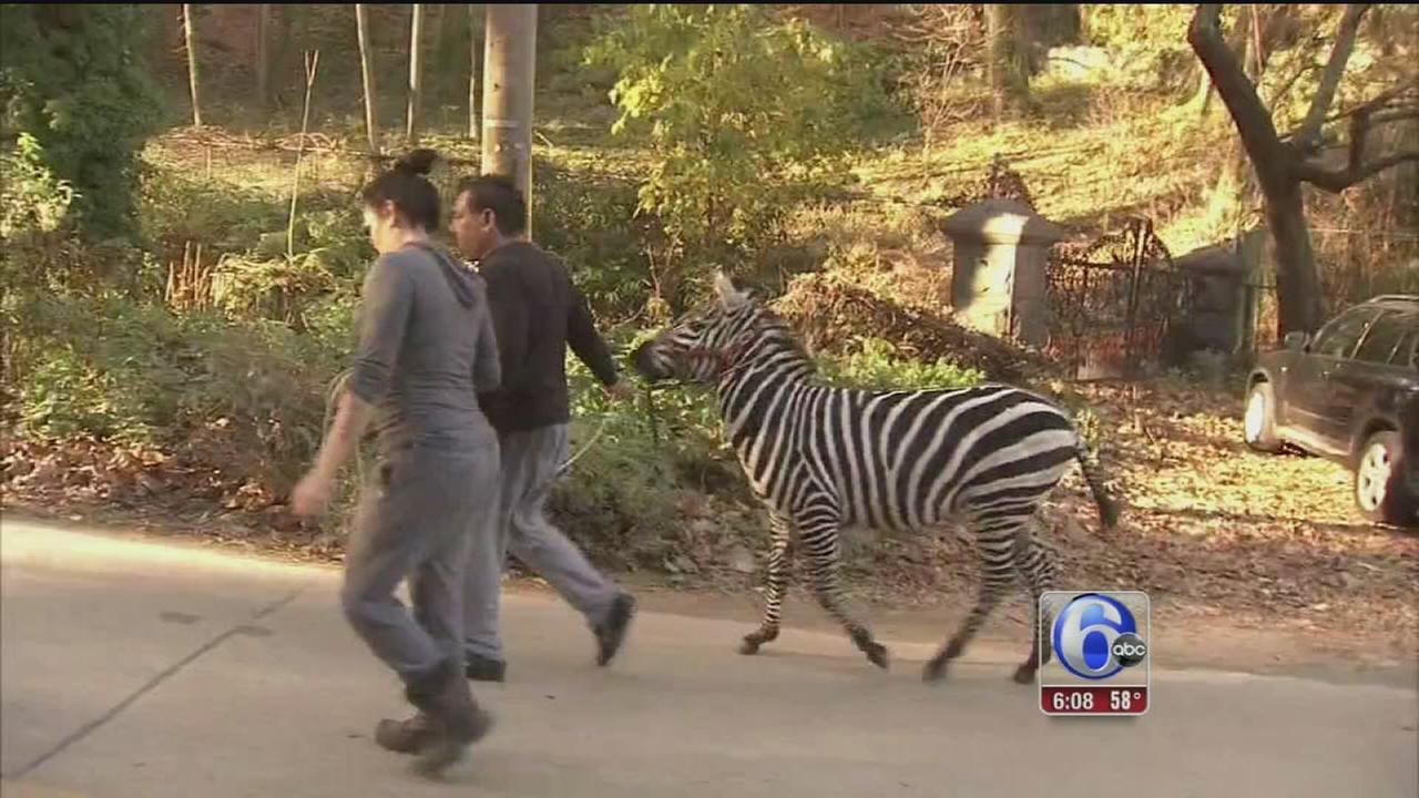 VIDEO: Zebras escape, captured