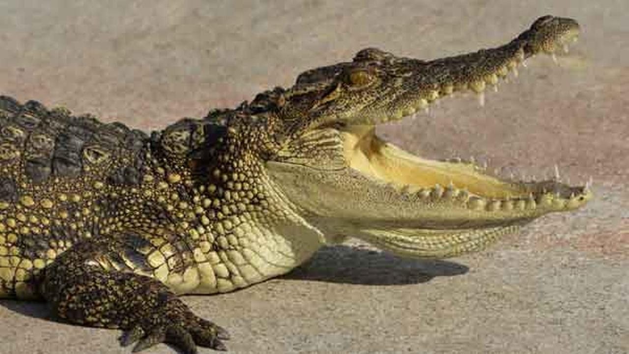 Alligator confiscated from home after Ohio SWAT standoff