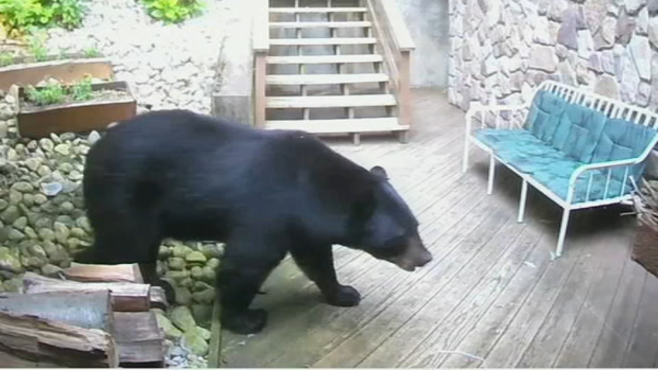 400 pound bear shows up on Pa. mans home security video. Watch the video from 6abc.com on November 2, 2018.