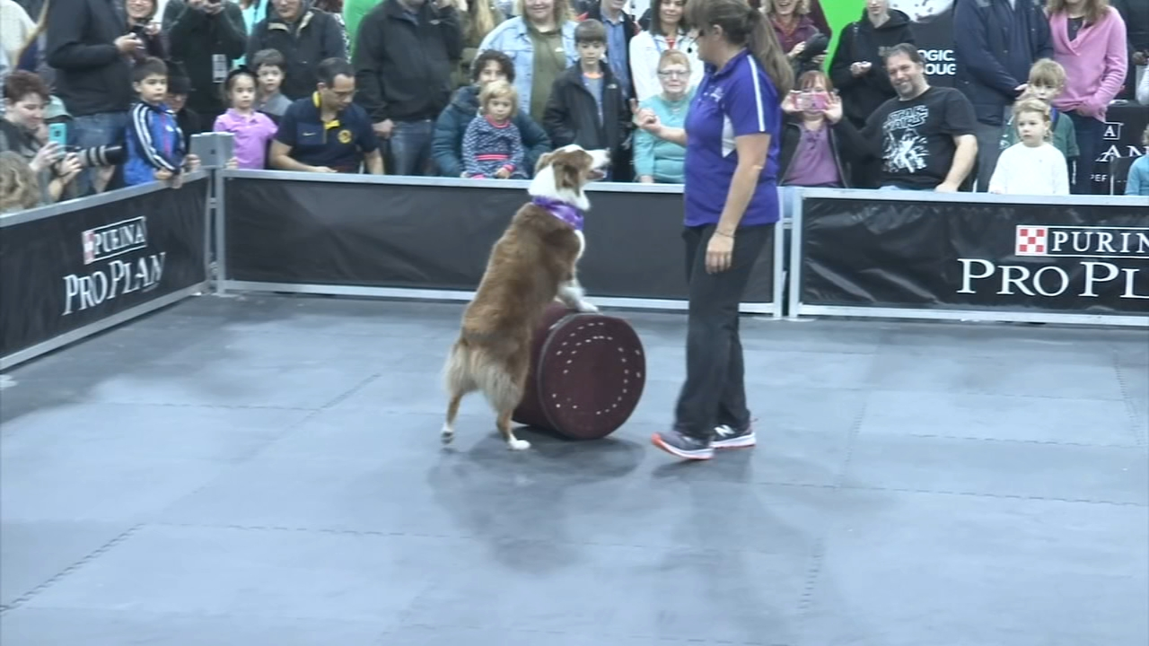 2018 Kennel Club Dog Show continues in Oaks: as seen on Action News at 5 p.m., November 18, 2018