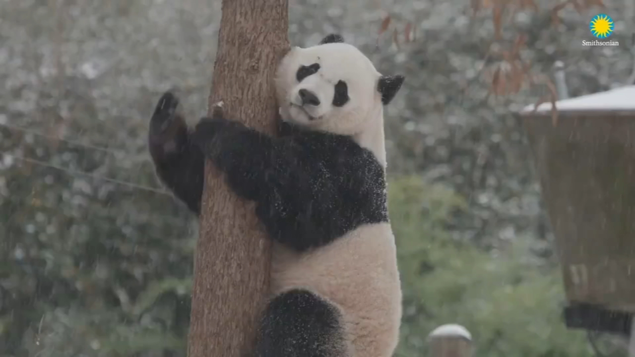 Bei Bei the Giant Panda enjoys the snow at the National Zoo. Nydia Han reports during Action News at 10 a.m. on November 18, 2018.