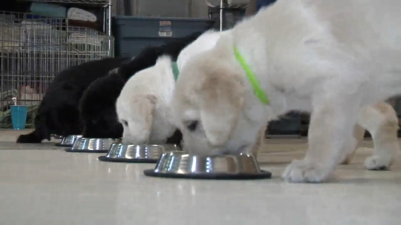 Week 5: Action News Pupdates. Thanksgiving is this week and Canine Partners for Lifes pups are getting a head start on their First yummy meal.