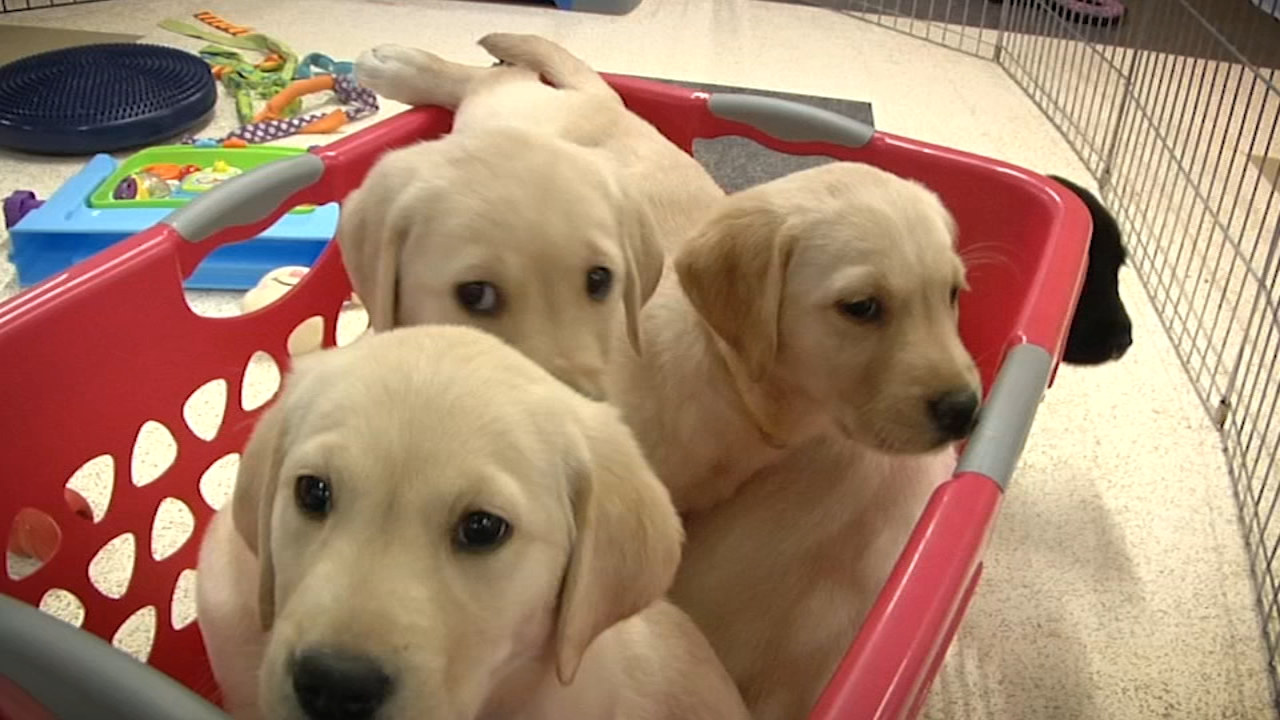 The eight week old puppies have their first evalation. Jennifer Swank, the Puppy Program coordinator for CPL, explains the temperment  test.