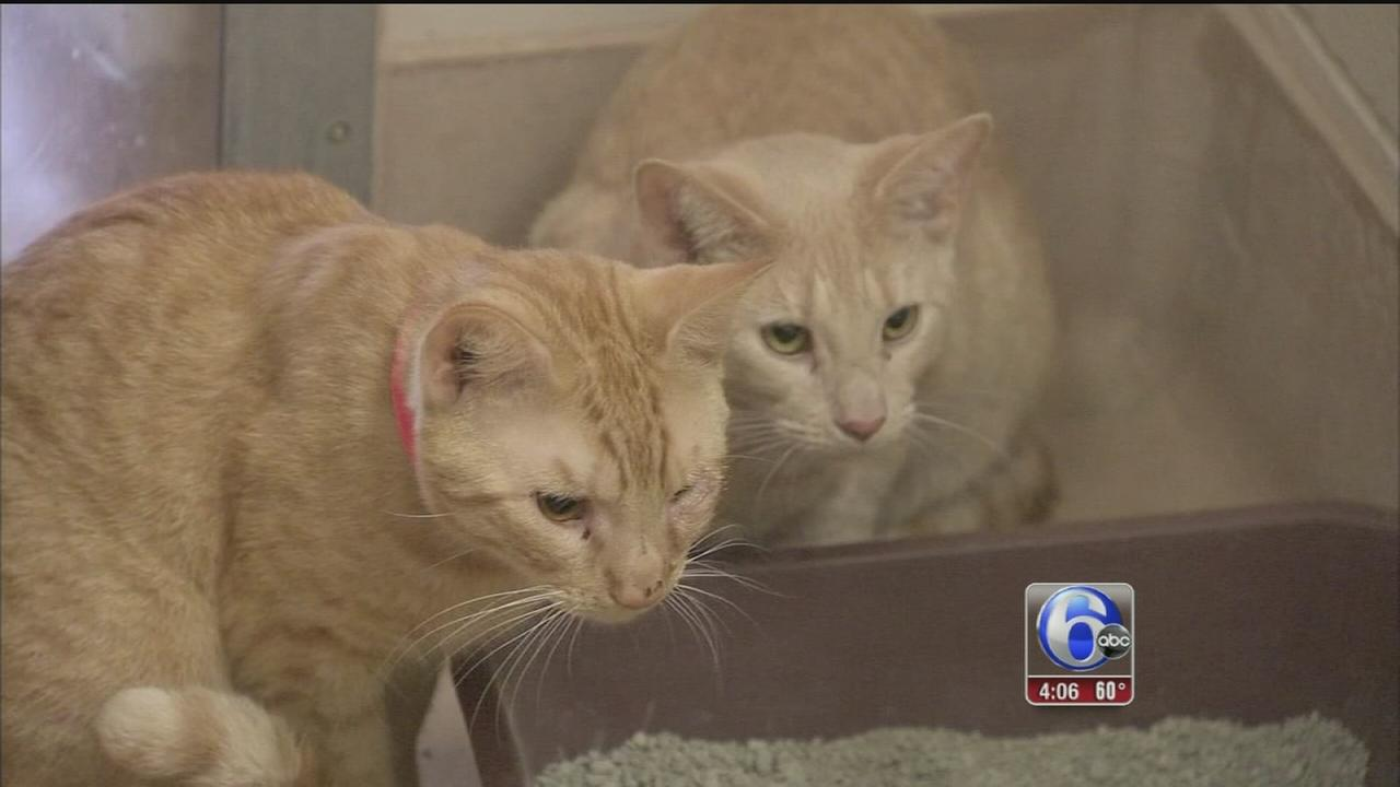 Hoarding rescue leads to cat overcrowding at shelter