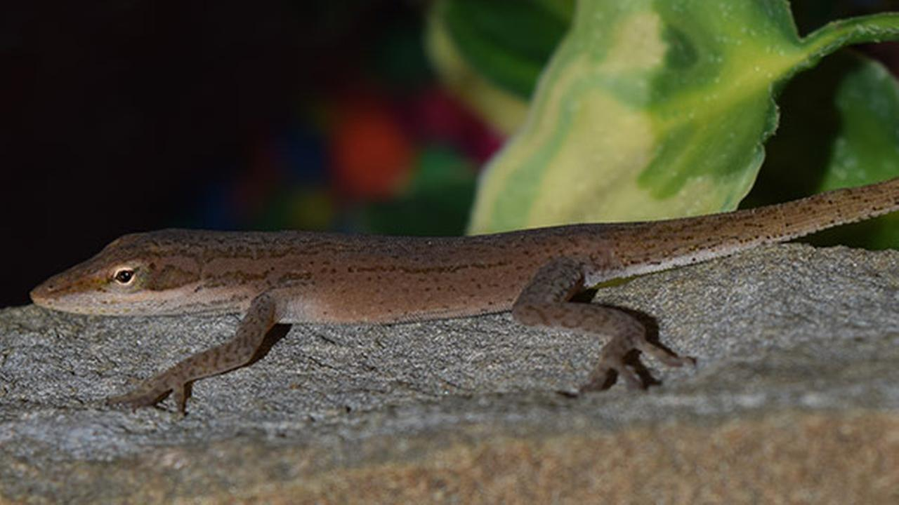 Lizard found in kindergartners salad now a class pet