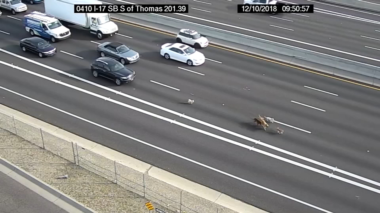 A pack of pooches had drivers hitting the brakes on a Phoenix interstate.