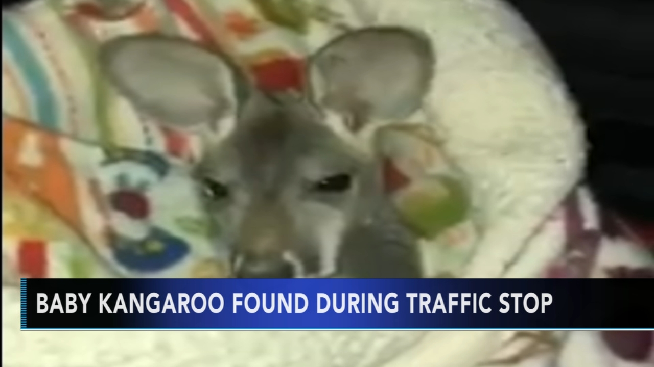 Officer meets baby kangaroo during traffic stop. Monica Malpass reports during Action News at 5 p.m. on December 27, 2018.