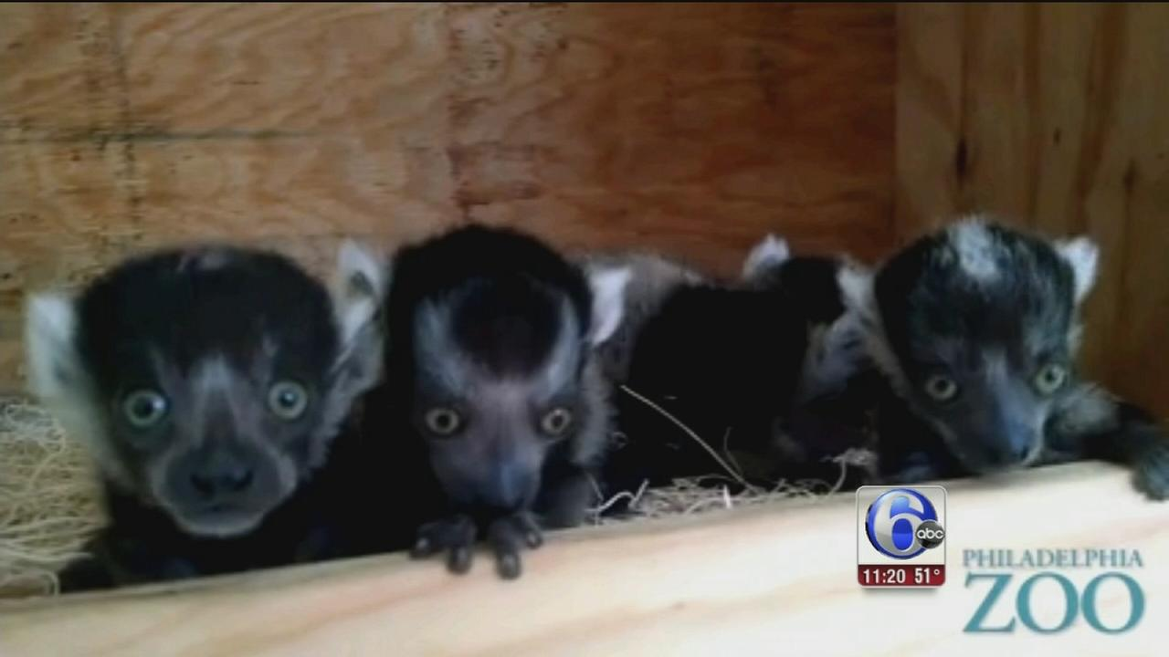 VIDEO: Baby lemurs