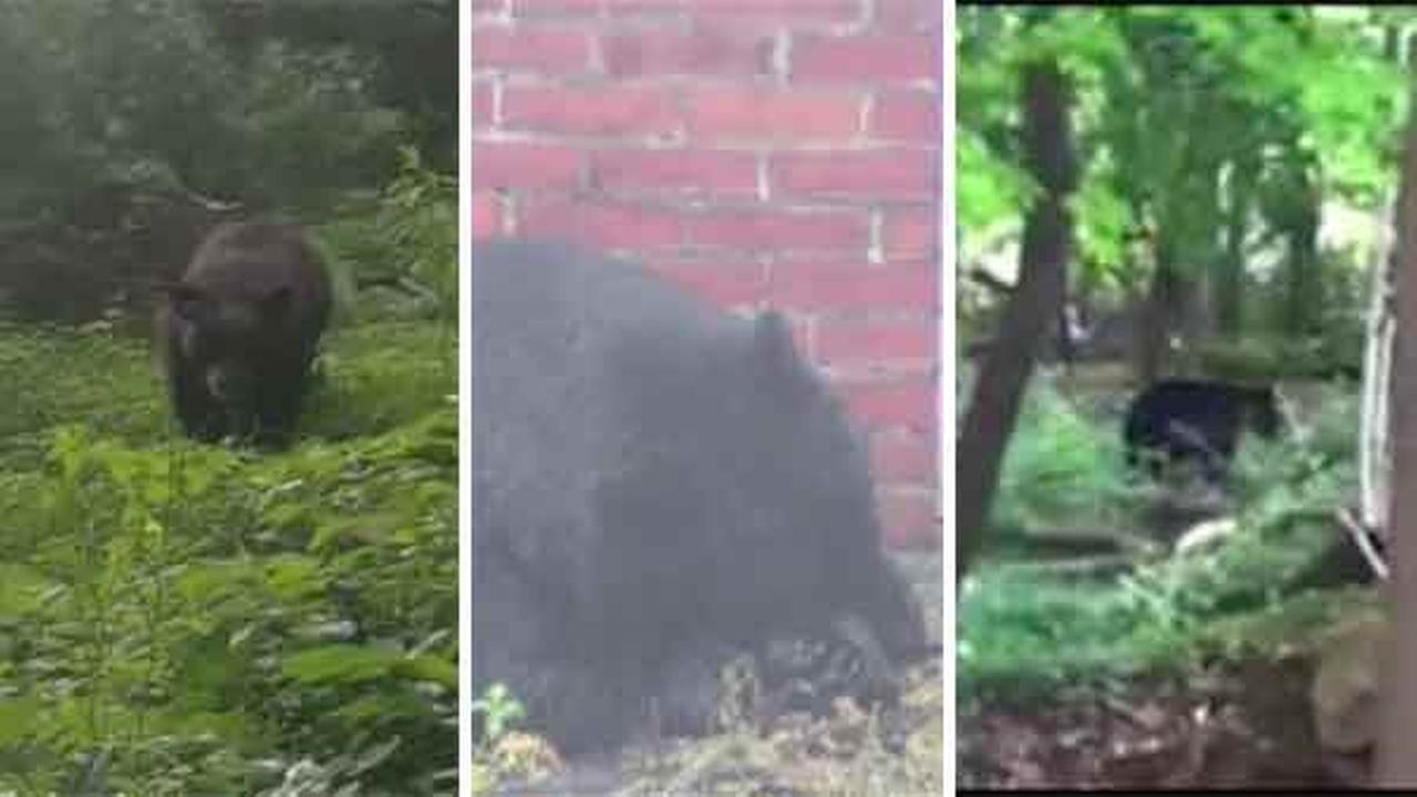 Multiple black bears have recently been spotted in the tri-state area.