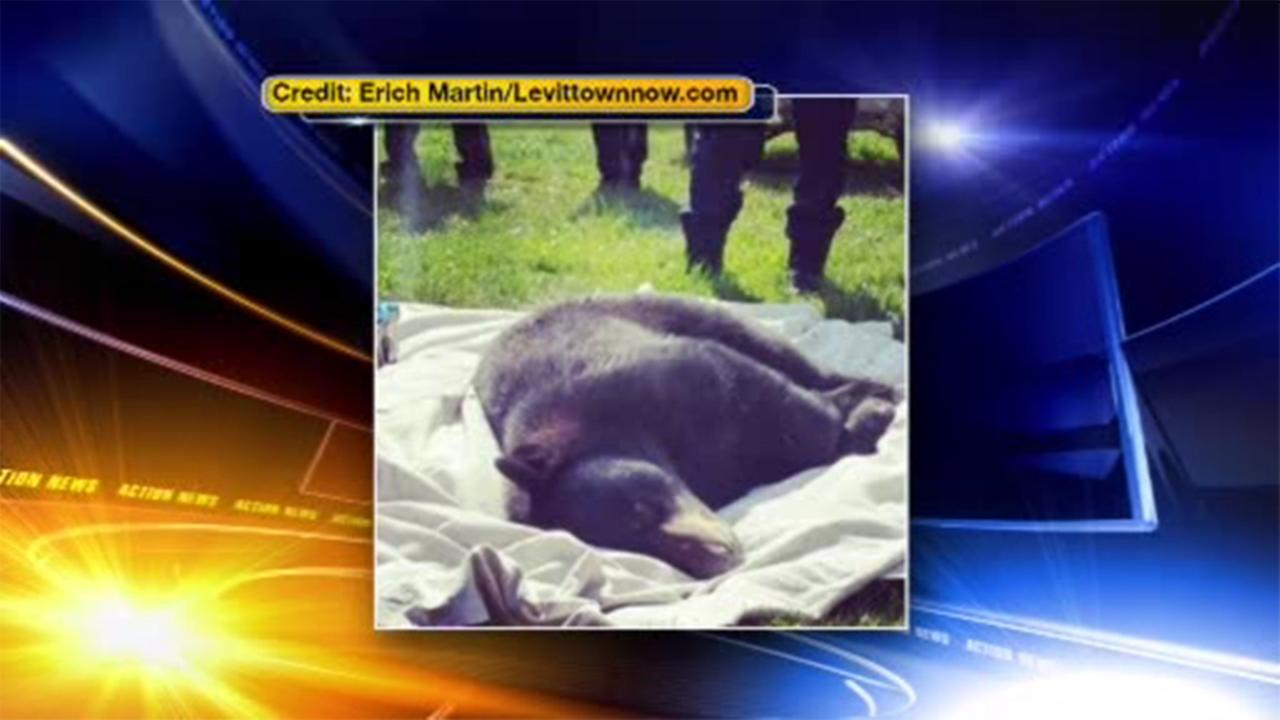 Officials say a bear has been captured after roaming through parts of Bucks County.
