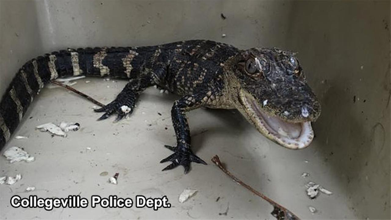 Alligator spotted wandering street in Collegeville, Pa.