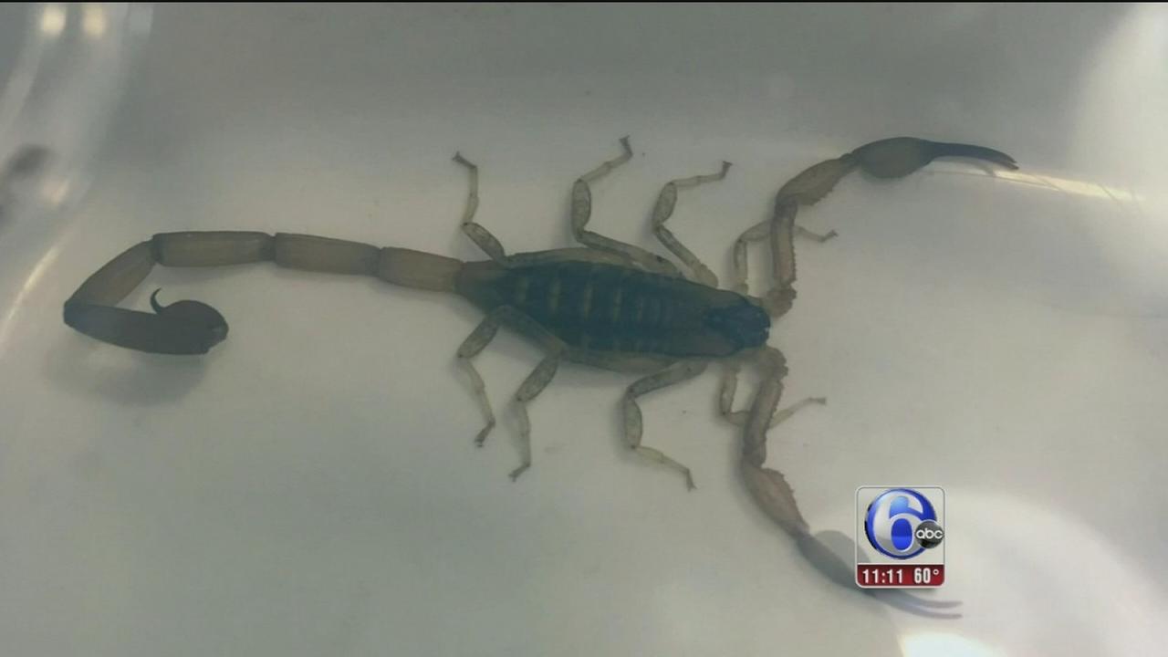VIDEO: Scorpion stowaway