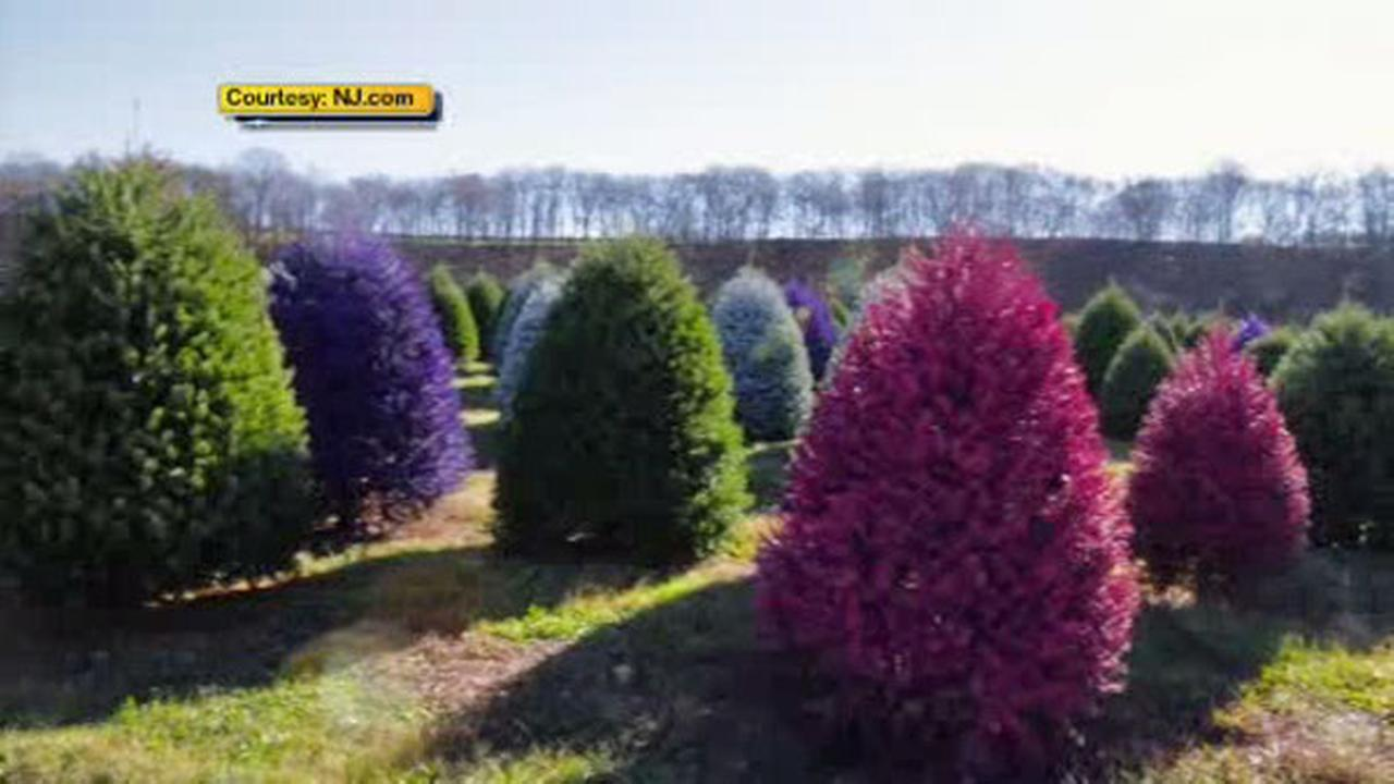 New Jersey tree farm creates colored Christmas trees