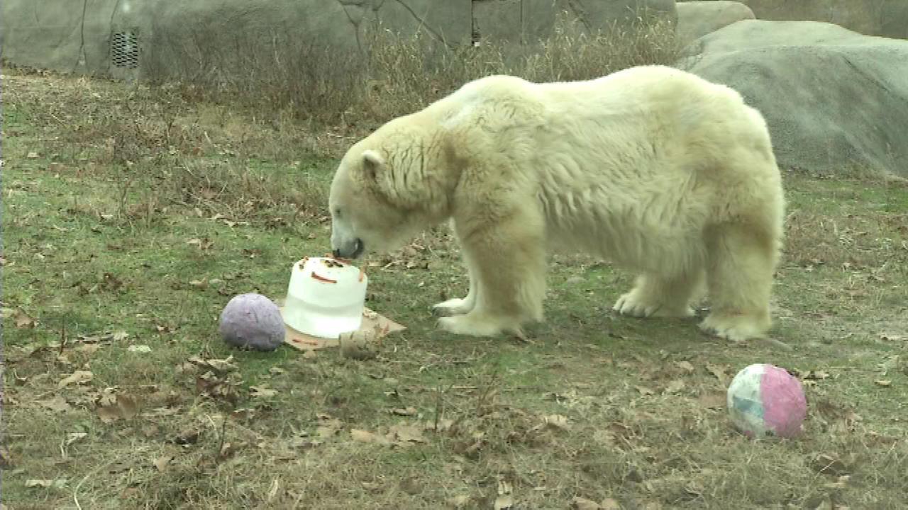 Philly Zoo polar bear, America's oldest, celebrates birthday
