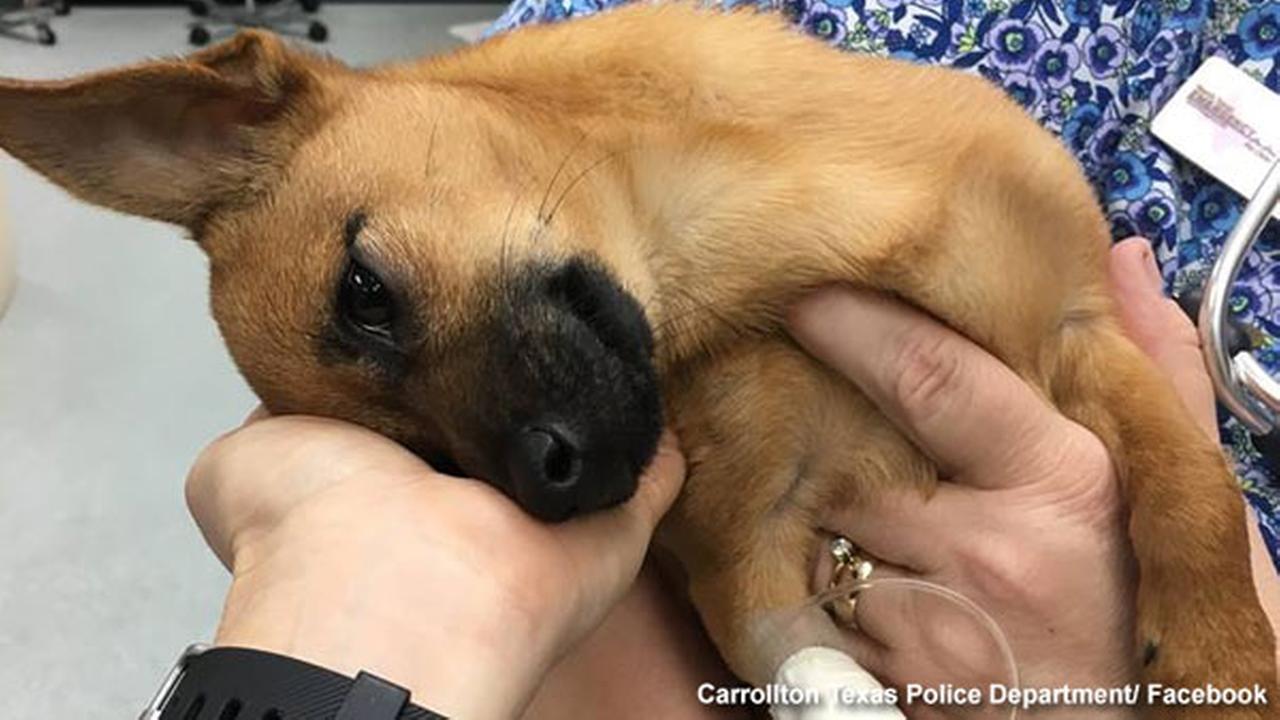 Puppy recovering after drug overdose, arrests made