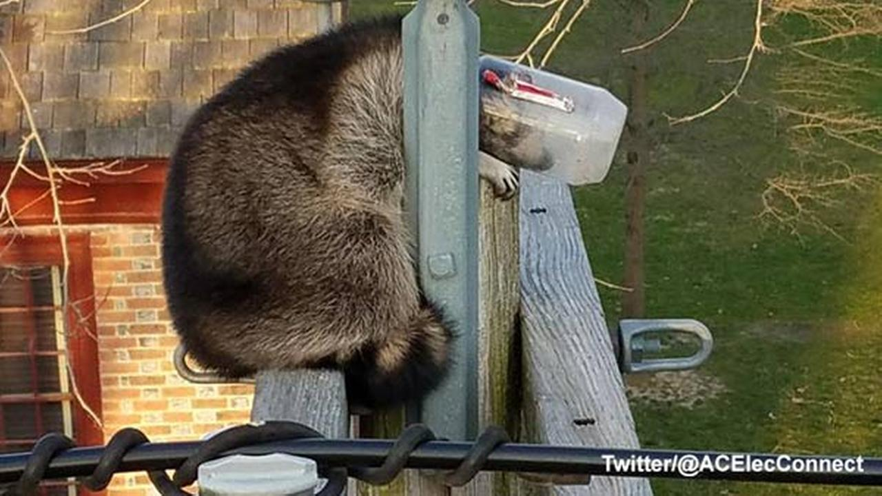 Raccoon with head stuck in jar rescued atop NJ utility pole