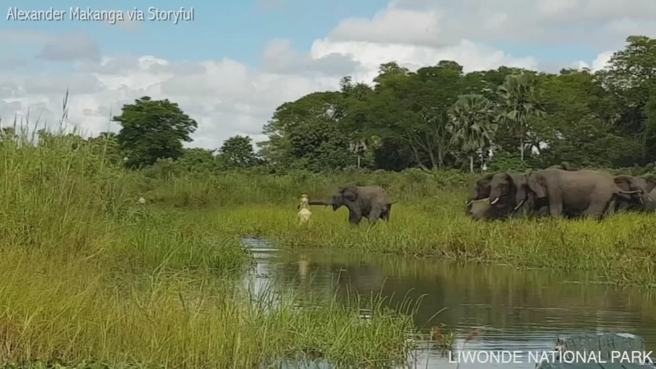 VIDEO: Elephant escapes from crocodile