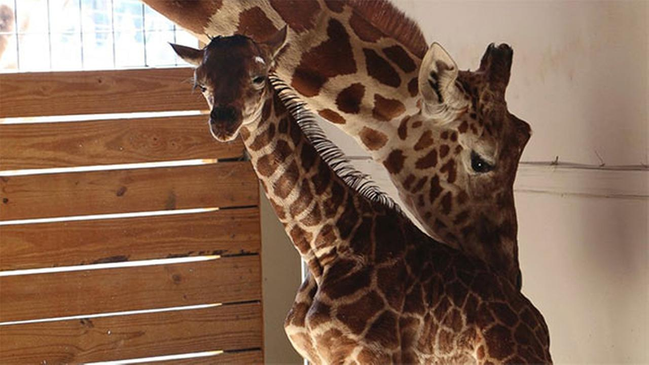 In this photo provided by Animal Adventure Park in Binghamton, N.Y., a giraffe named April stands with her new calf on Saturday, April 15, 2017.