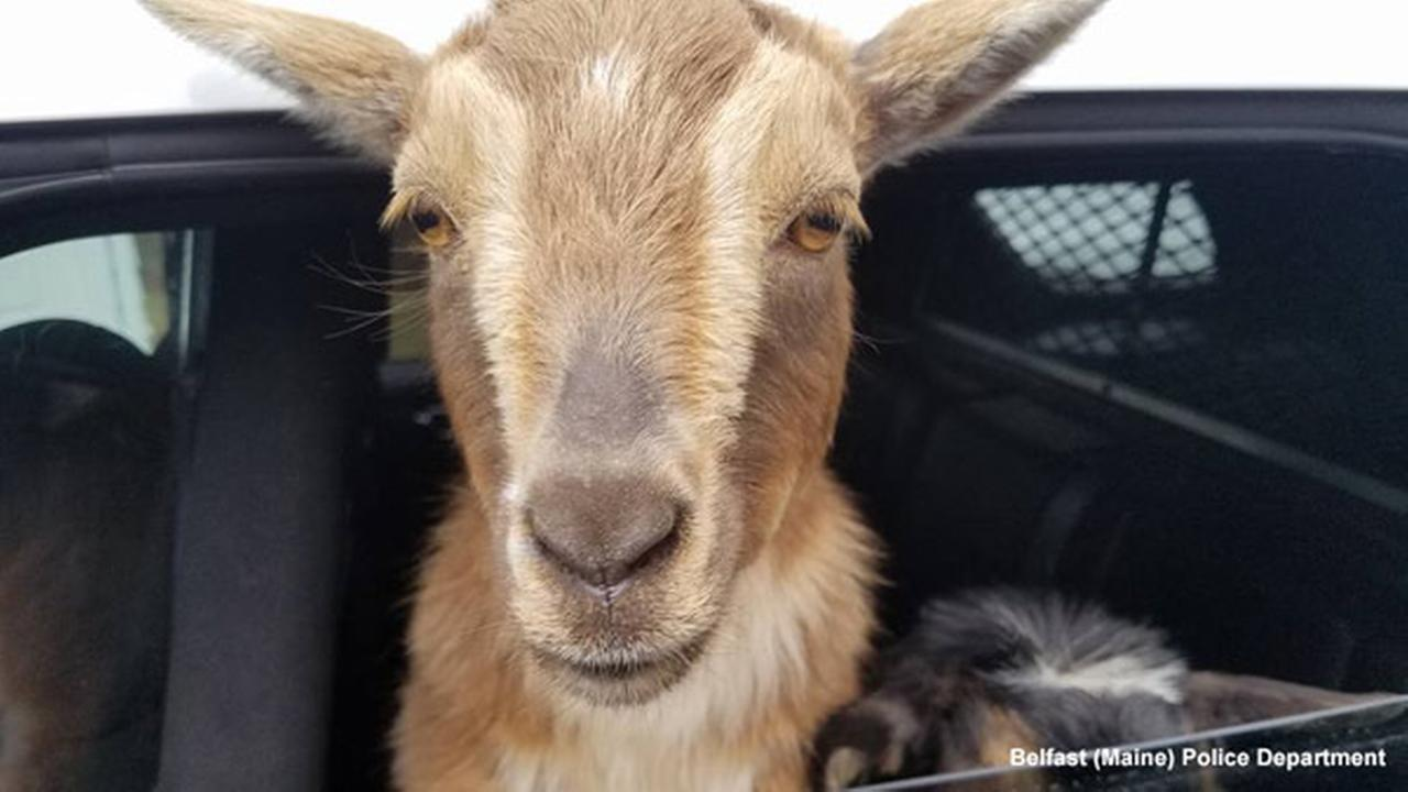 Maine police pick up adorable intruders: A pair of pygmy goats