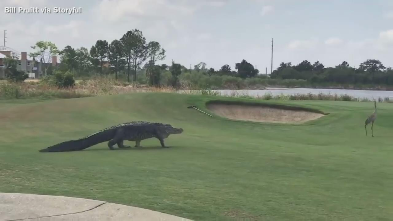 VIDEO: Gator stalks cranes across golf course.
