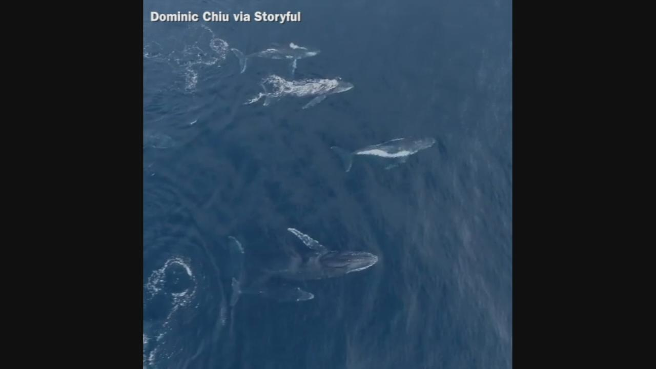 VIDEO: Extraordinary drone footage of humpback whales