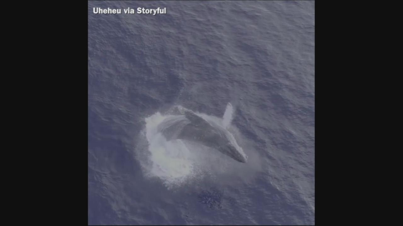 VIDEO: Whale emerges from water