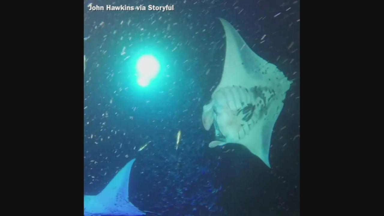 VIDEO: Mantas swim in moonlit waters