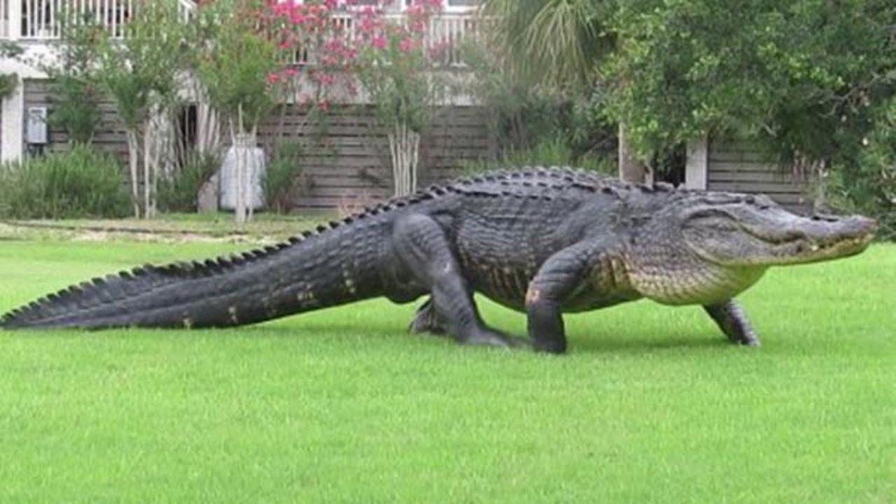 Massive alligator spotted on South Carolina golf course