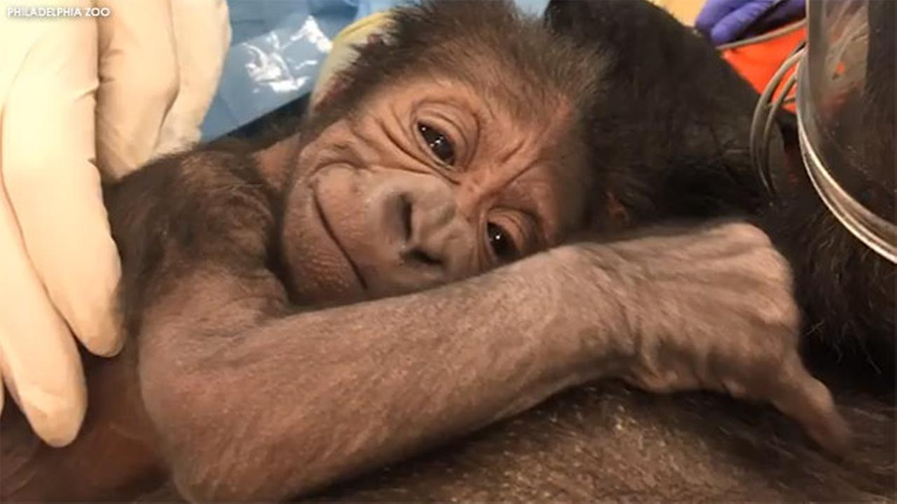 Philadelphia Zoo welcomes baby gorilla after emergency delivery