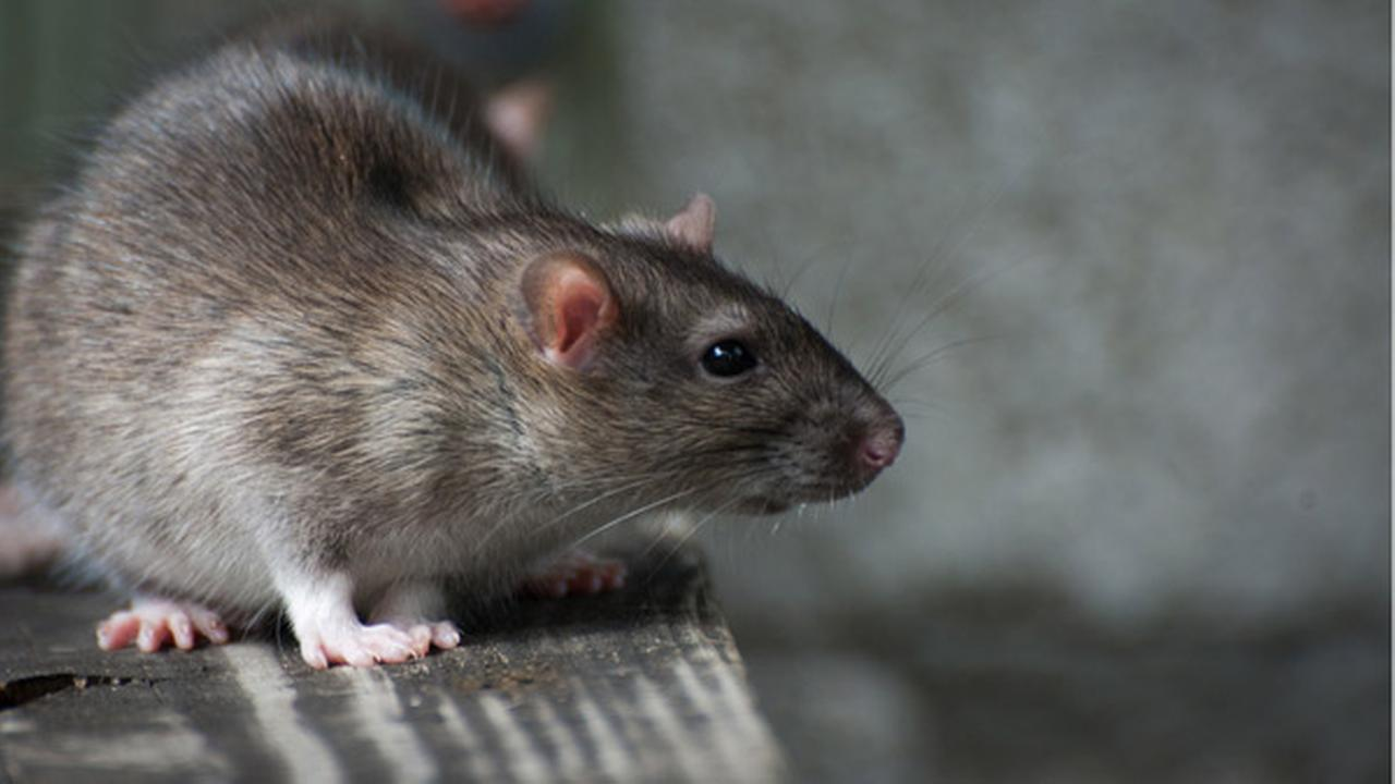Orkin names Los Angeles 3rd rattiest city in US