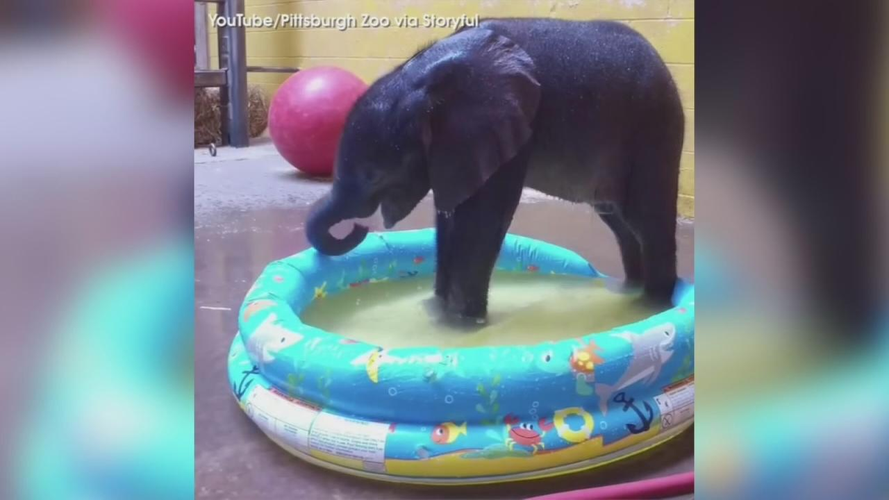 VIDEO: Pittsburgh Zoos elephant calf takes first bath