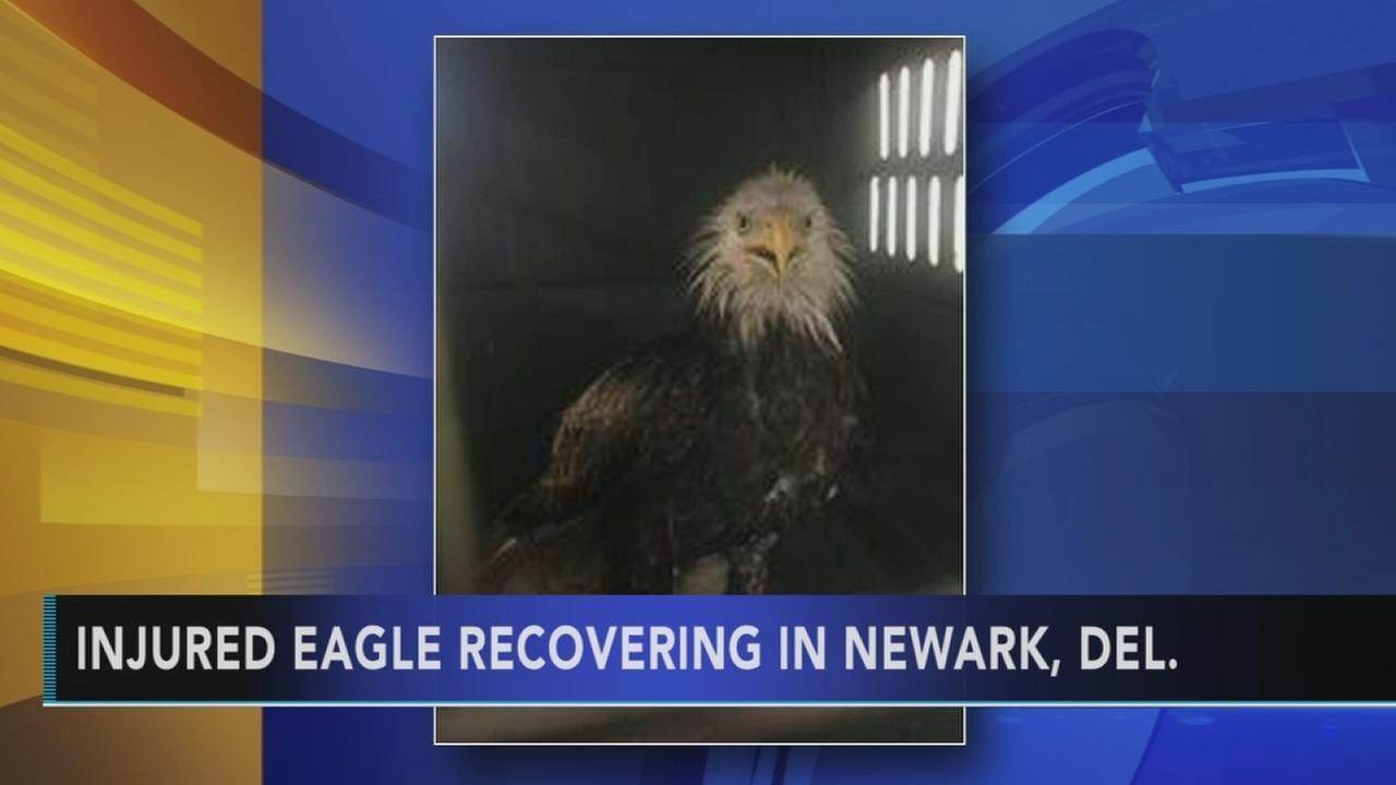 Injured bald eagle recovering in Delaware
