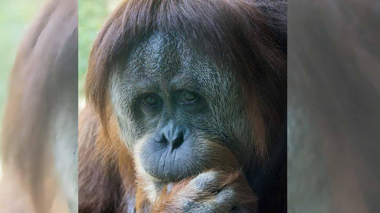 Tua, the mother of the deceased infant orangutan, in an undated photo courtesy of the Philadelphia Zoo.