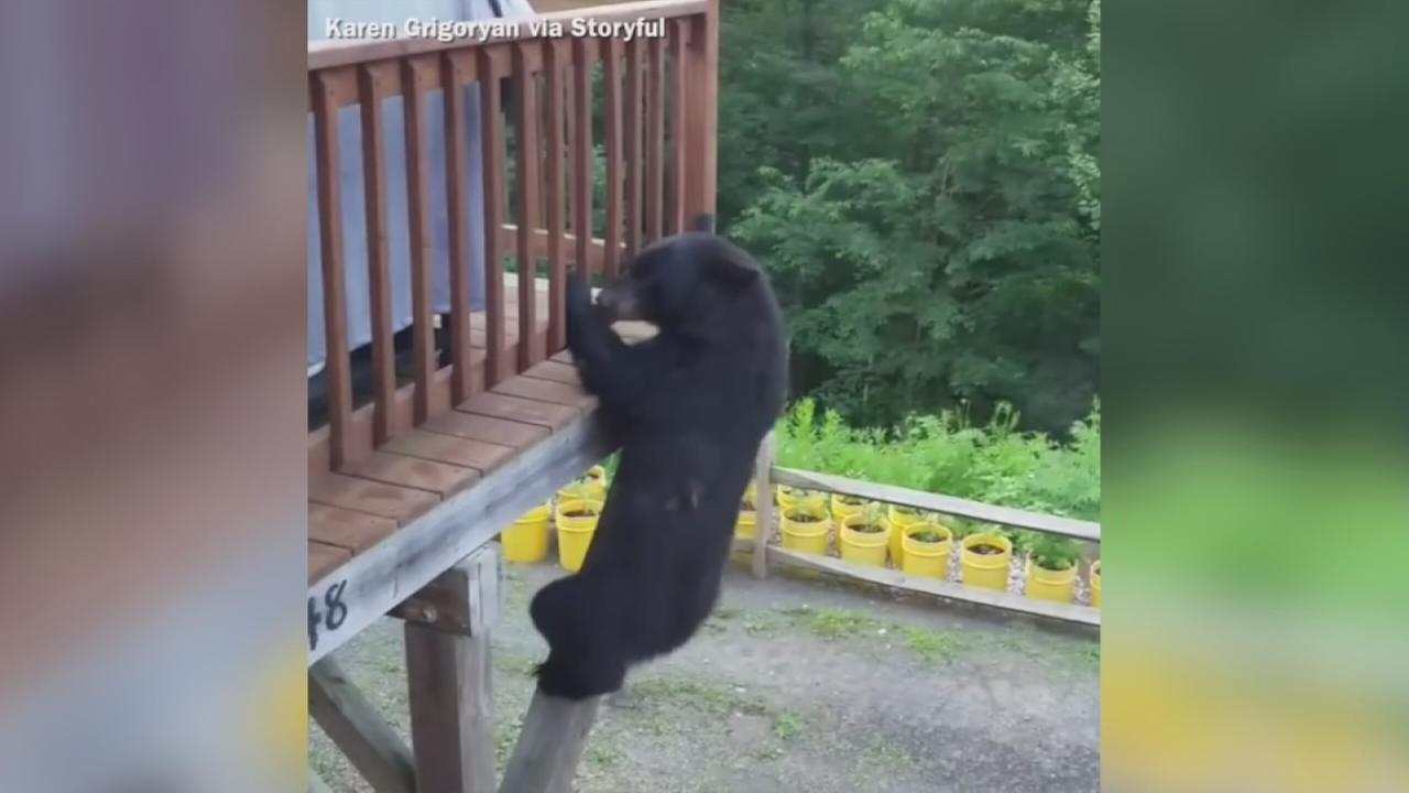 VIDEO: Black bear climbs houses deck