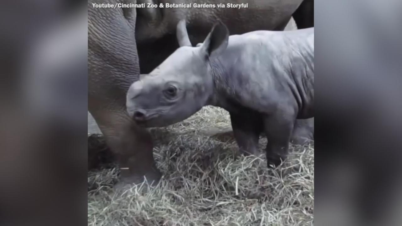 VIDEO: Cincinnati Zoos baby black rhino doing well