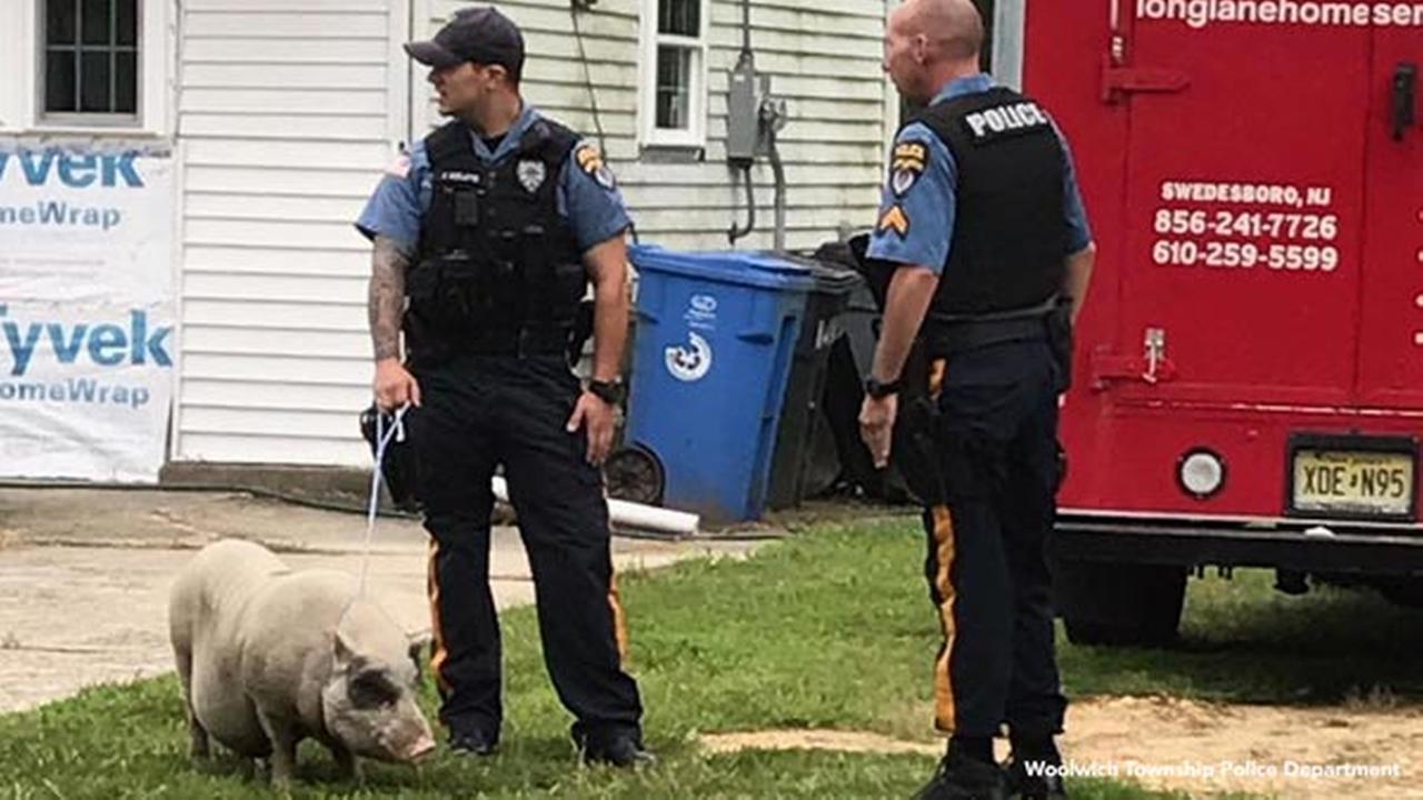 Woolwich Twp. police officers corral loose pig; jokes ensue