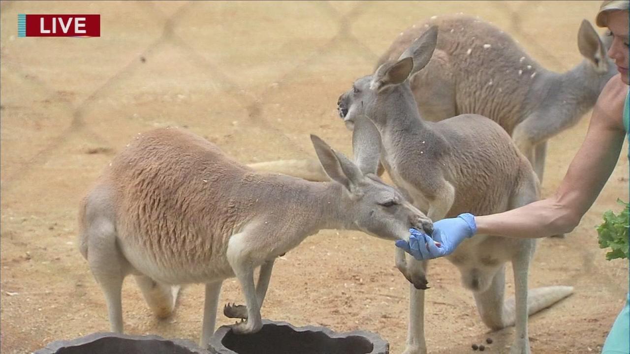 Cecliy Tynan visits with the Kangaroos and Emus at the Phila. Zoo
