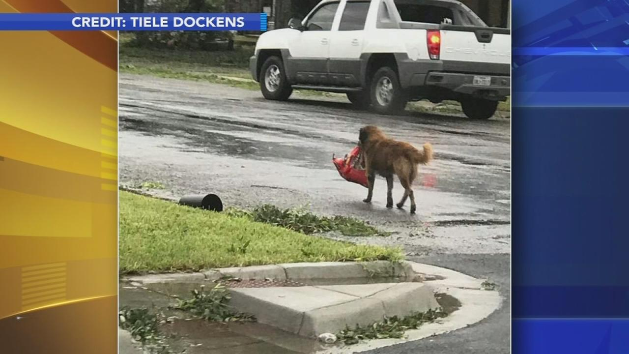 VIDEO: Lost dog carries his food in wake of Harvey