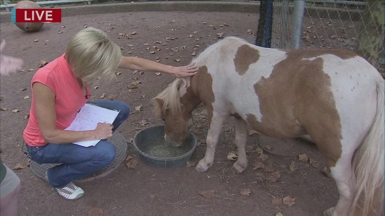 Cecily Tynan with miniature horses at zoo