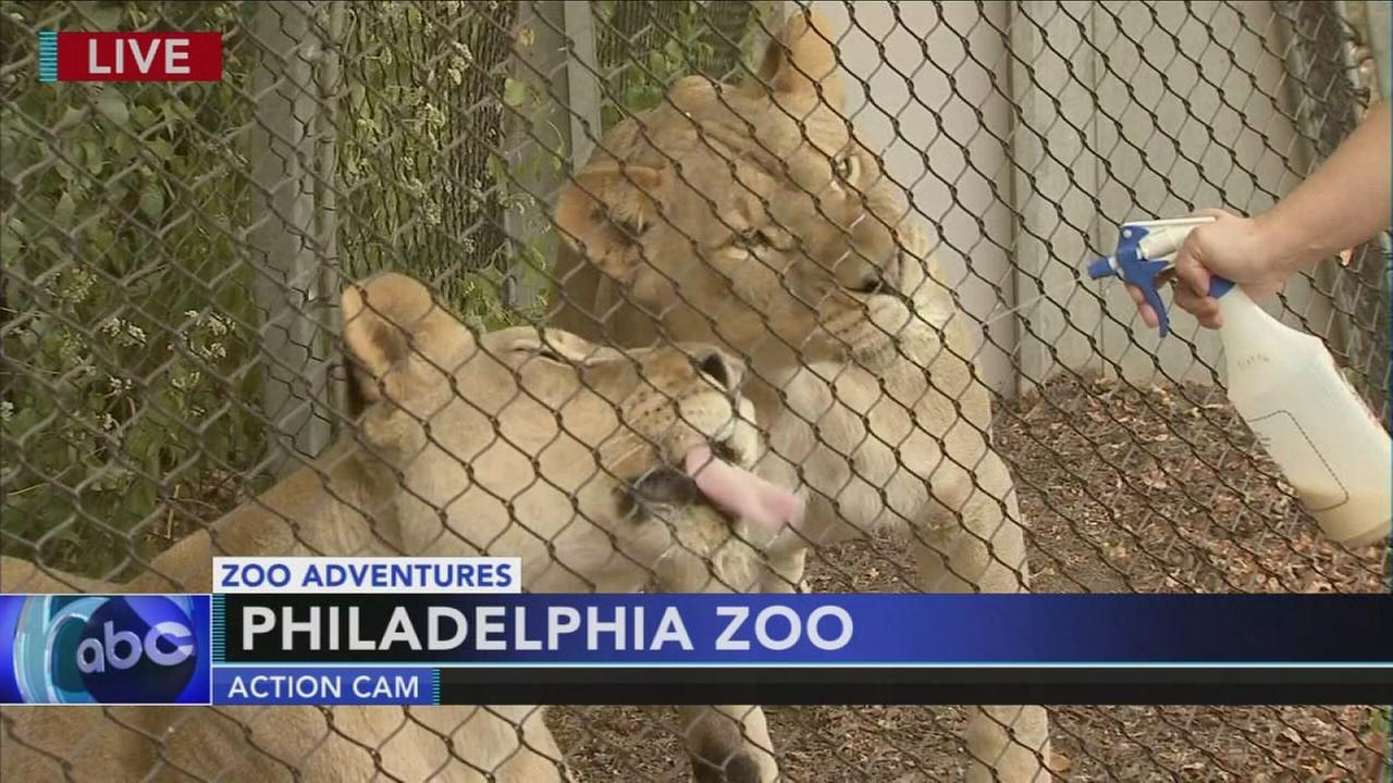 Cecily Tynan visits with the lion cubs at  the Philadelphia Zoo