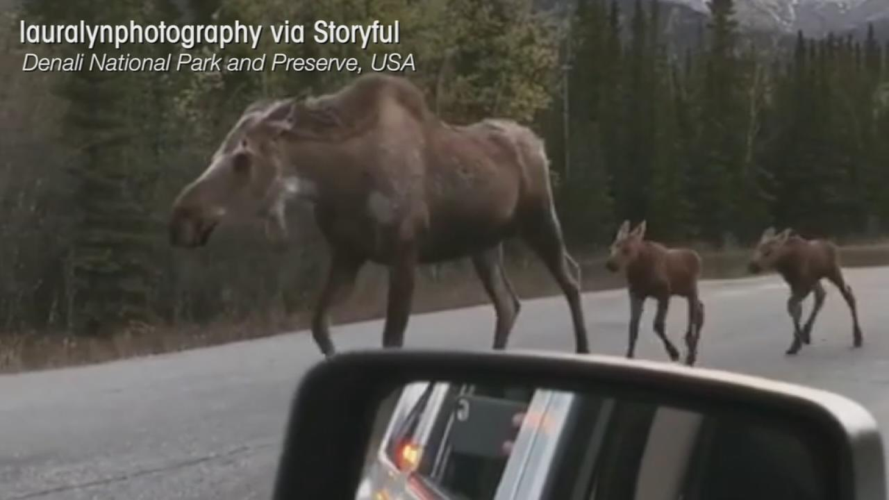 VIDEO: Moose family