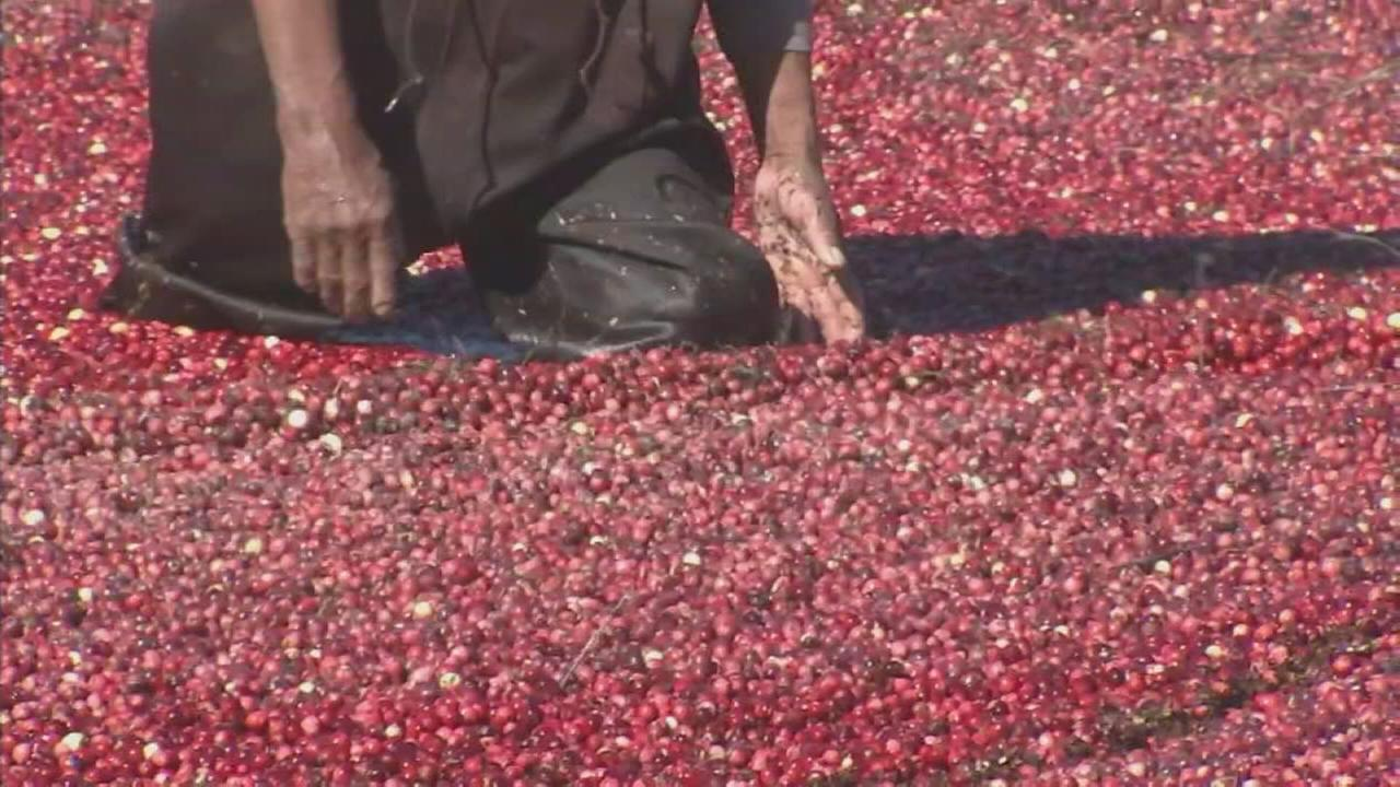 Cranberry harvest begins in New Jersey