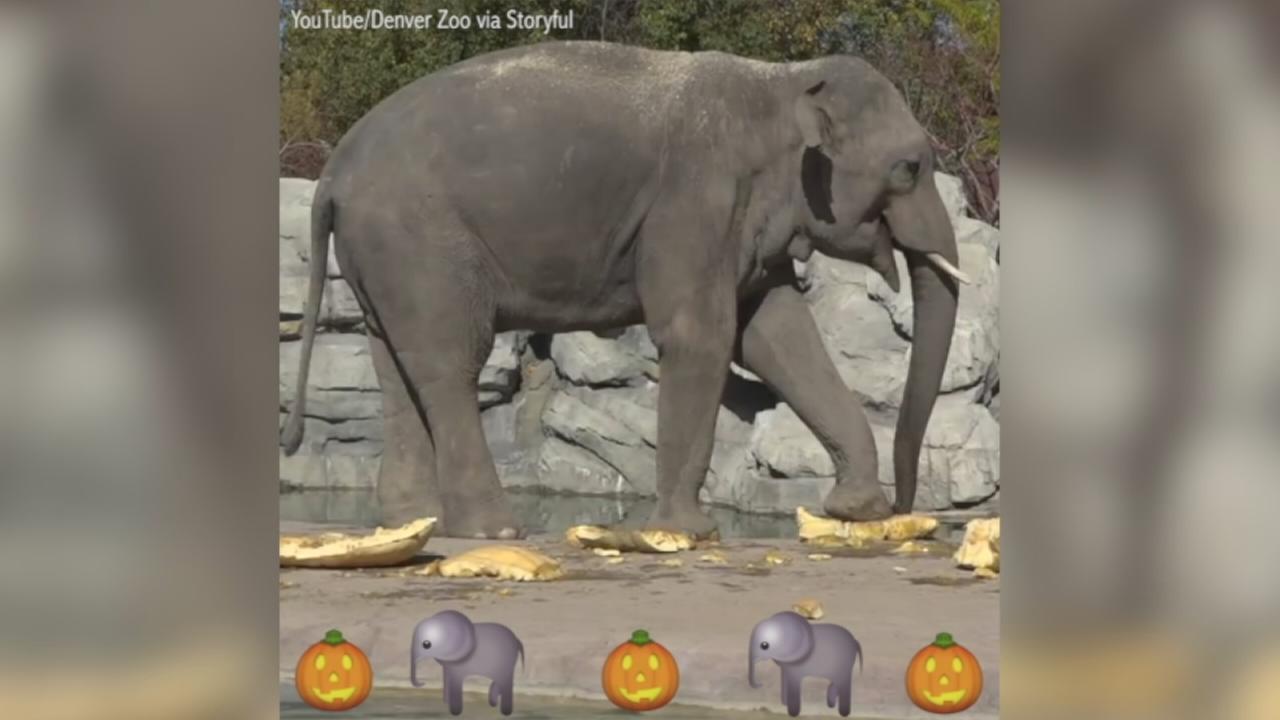 VIDEO: Elephants smash pumpkins